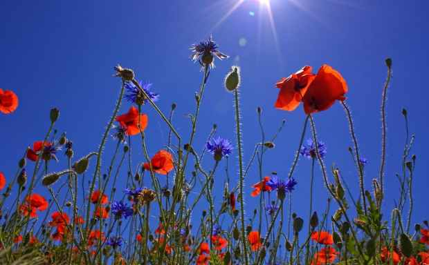 field-of-poppies-sun-spring-nature